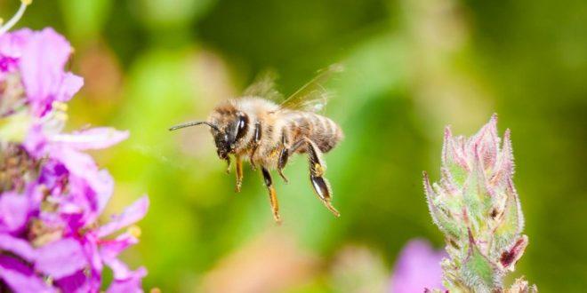 Descubren que el veneno de abeja puede curar el cáncer de mama
